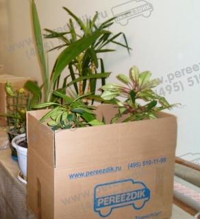 Упаковать и перевезти домашние цветы в горшках